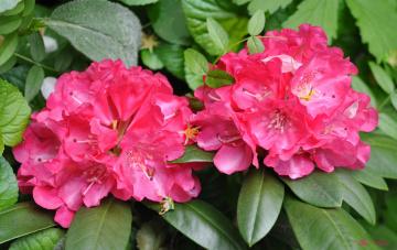 обоя цветы, рододендроны , азалии, рододендрон, розовый, азалия