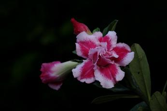 обоя цветы, адениум,  мандевилла, цветение, пустынная, роза