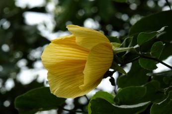 обоя цветы, гибискусы, гибискус, тычинки, цветение, ярко, лепестки, листики