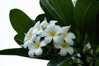 обоя цветы, плюмерия, ветка, flowering, leaves, листья, лепестки, plumeria, petals, цветение, branch