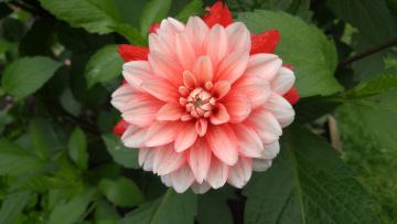 обоя цветы, георгины, георгин, цветение, лепестки, бутон