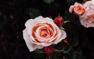 обоя цветы, розы, бутоны, кремовые, куст, роз, лепестки