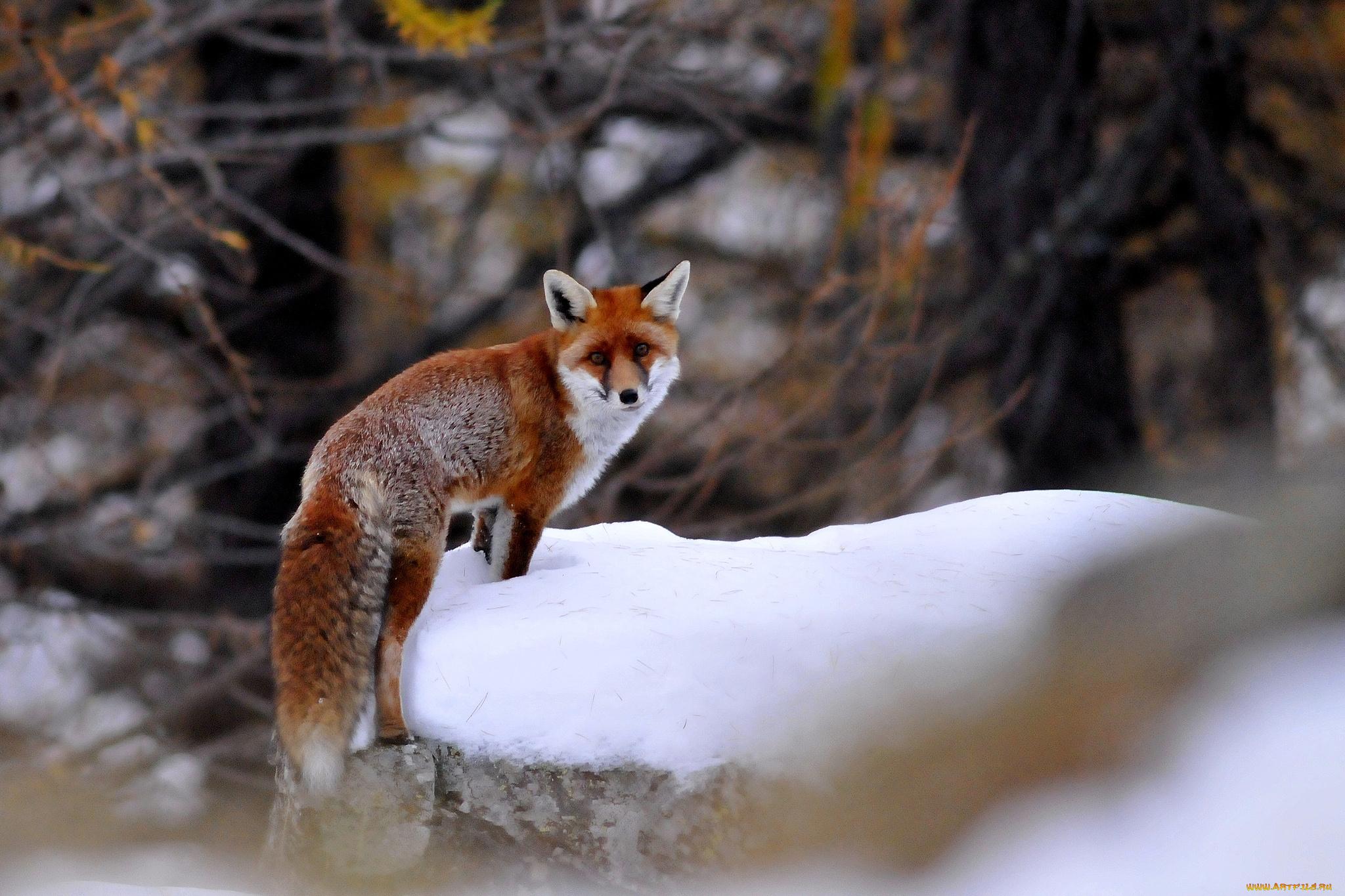 Днем, картинки животные зимой на рабочий стол