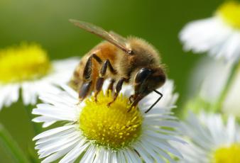 Картинка животные пчелы +осы +шмели ромашка цветок насекомое пчела макро фон