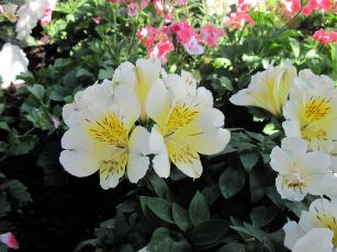 обоя цветы, альстромерия, белый, крапинки