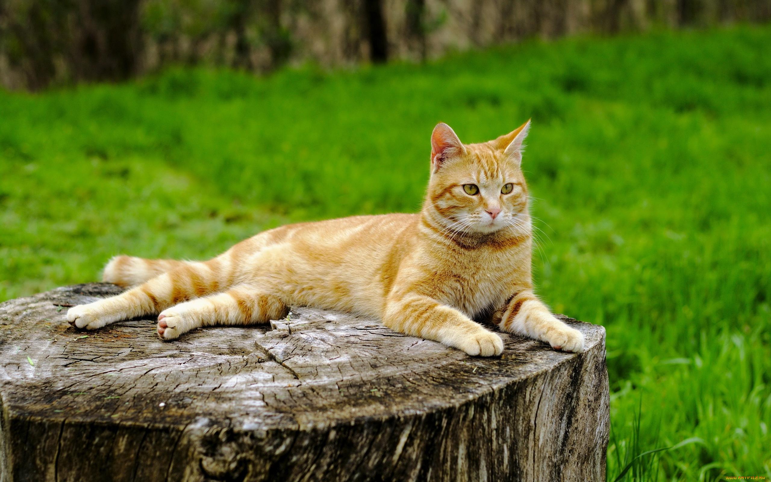 Рыжий кот на досках без смс