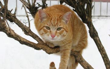 Картинка животные коты взгляд рыжый