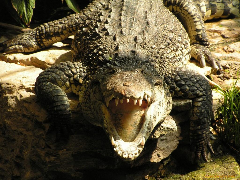 крокодил перед охотой бесплатно