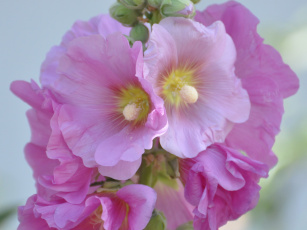Картинка цветы мальвы