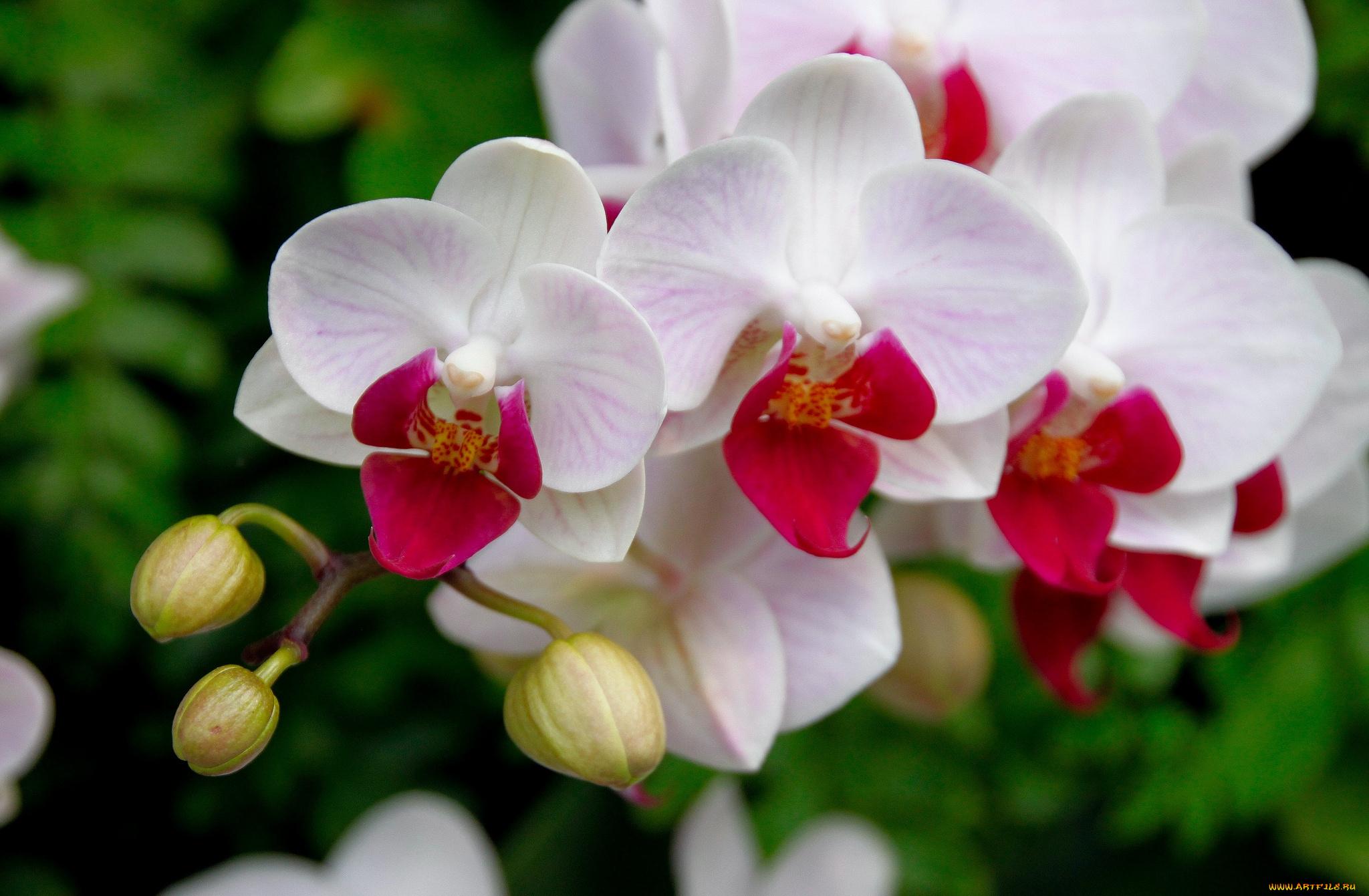 Орхидея фото красивые
