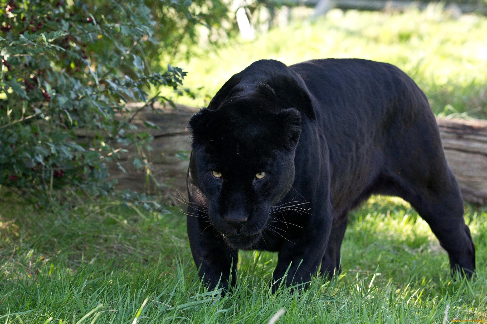 Скачать Обои Пантера
