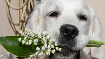 Картинка животные собаки ландыши