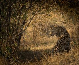 обоя животные, леопарды, африка, кошка, хищник, сидит, тень, свет, окрас, пятна, кустарник, заросли, смотрит