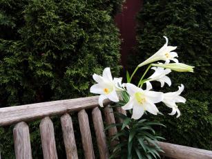 обоя цветы, лилии,  лилейники, белый