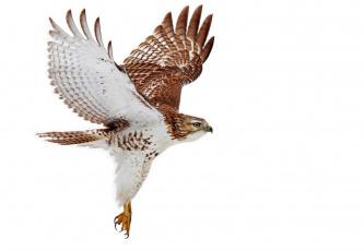 обоя животные, птицы - хищники, летит, крылья, птица, хищник, сокол