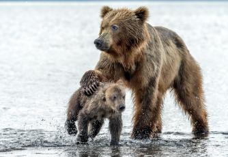 обоя животные, медведи, медведица, капли, медведь, вода, мокрые, медвежонок