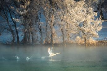 обоя животные, лебеди, деревья, лебедь, река, зима, птица, иней