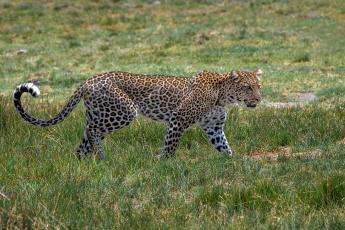 обоя животные, леопарды, кошка, трава, пятна, окрас, грация, идёт, африка