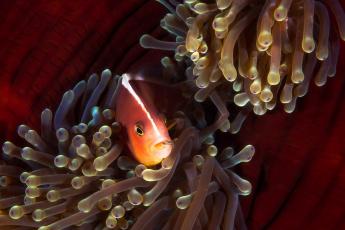 обоя животные, рыбы, рыба, клоун, море, под, водой, амфиприон, актинии