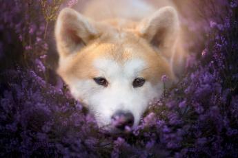обоя животные, собаки, взгляд, собака, природа