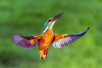обоя животные, зимородки, kingfisher, крылья, птица, зимородок, капли