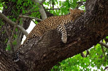 обоя животные, леопарды, дерево, листва, хищник, лежит, сон, отдых