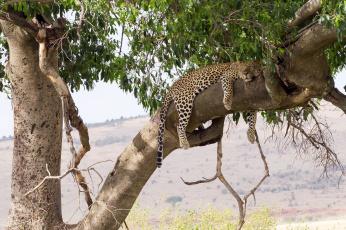 обоя животные, леопарды, кошка, лежит, сон, отдых, листва