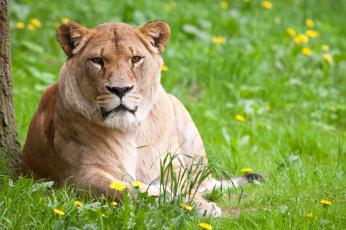 обоя животные, львы, трава, львица, одуванчики