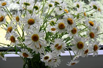 обоя ромашки, цветы, букет