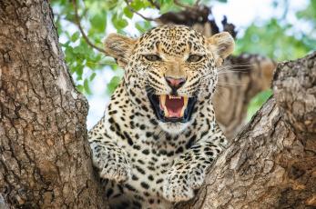 обоя животные, леопарды, кошка, хищник, морда, пасть, клыки, оскал, ярость, злость, угроза, агрессия, рык, сердитый, африка