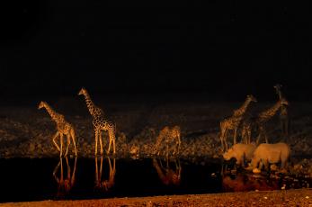обоя животные, разные вместе, жираф, ночь, водопой, носорог, африка