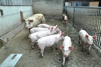 обоя животные, свиньи,  кабаны, свинки