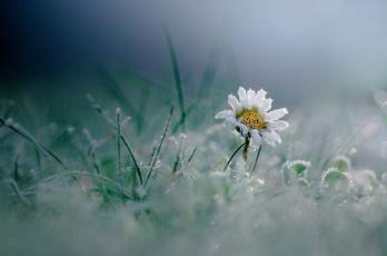 обоя цветы, ромашки, иней, макро, трава, цветок, мороз