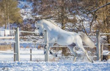 обоя автор,  oliverseitz, животные, лошади, конь, белый, движение, скачок, профиль, мощь, грация, красота, резвый, игривый, загон, зима, снег