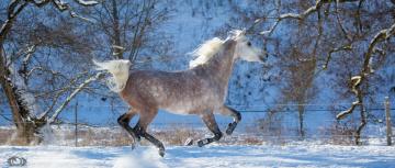 обоя автор,  oliverseitz, животные, лошади, конь, серый, бег, галоп, движение, грация, мощь, скорость, грива, резвый, зима, снег, загон
