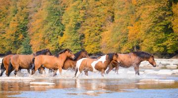 обоя животные, лошади, кони, табун, река, брызги, осень