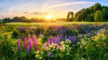 обоя цветы, луговые , полевые,  цветы, деревья, солнце, россия, луга, утро, люпины, лето