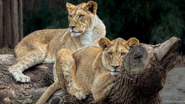 обоя животные, львы, детёныши, парочка