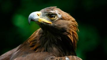 обоя животные, птицы - хищники, голова, перья, клюв, хищник, птица, орёл