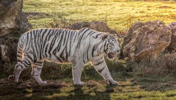 обоя животные, тигры, белый, хищник, мощь, полоски, свет, трава