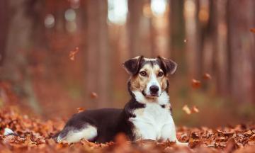обоя животные, собаки, друг, собака, осень, взгляд