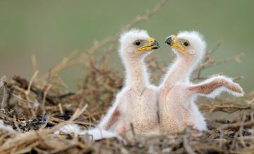 обоя животные, птицы - хищники, близнецы, братья, гнездо, птенцы, хищники, орёл, орлята