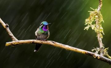 обоя животные, колибри, птица, ветка, дождь
