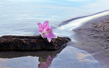 обоя цветы, лилии,  лилейники, камень, вода