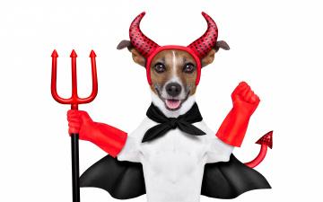 обоя юмор и приколы, накидка, наряд, красные, перчатки, рога, юмор, хвост, джек-рассел-терьер, трезубец, дьявол, белый, фон