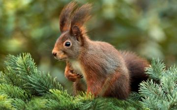 обоя животные, белки, грызуны, млекопитающее, елка, белка