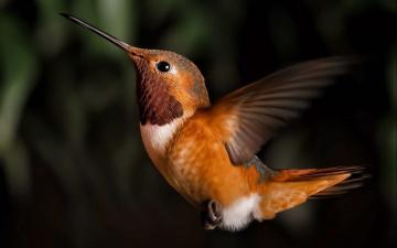обоя животные, колибри, полёт, крылья, клюв, птица