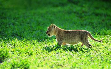 обоя животные, львы, трава, львенок, детеныш, котенок