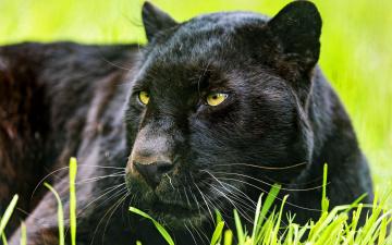 обоя животные, пантеры, трава, пантера