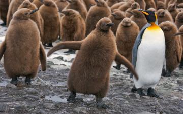 обоя животные, пингвины, птенцы, птицы